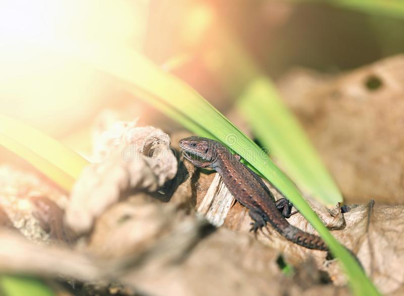 Photo of a funny little lizard royalty free stock images