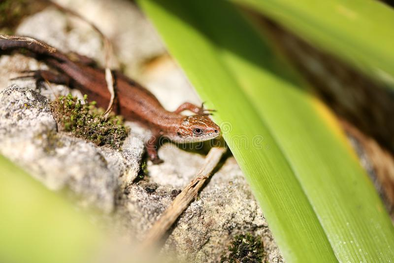 Photo of a funny little lizard royalty free stock photography