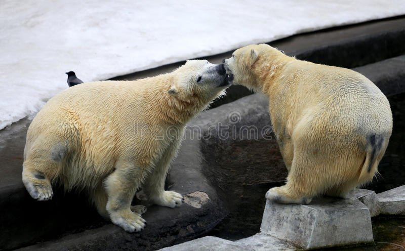 Photo of funny playing bears. In winter stock image
