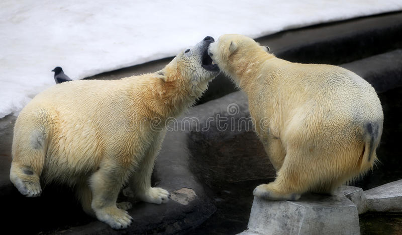 Photo of funny playing bears. In winter stock images