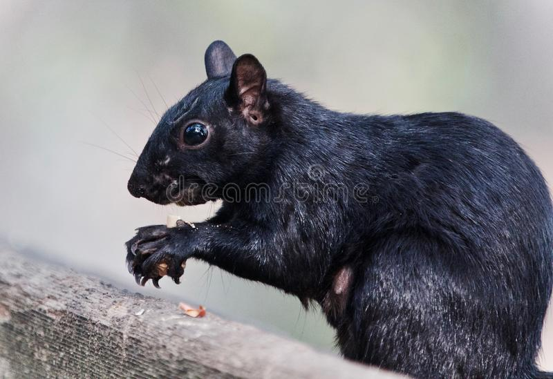 Photo of a funny squirrel eating nuts. Picture with a funny squirrel eating nuts stock photo