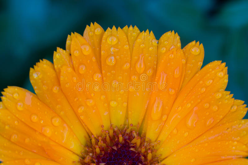 Photo of garden flowers calendula royalty free stock photo