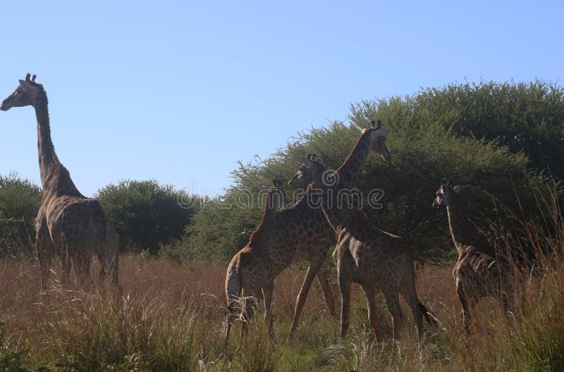 Photo of Giraffes in the Field stock images