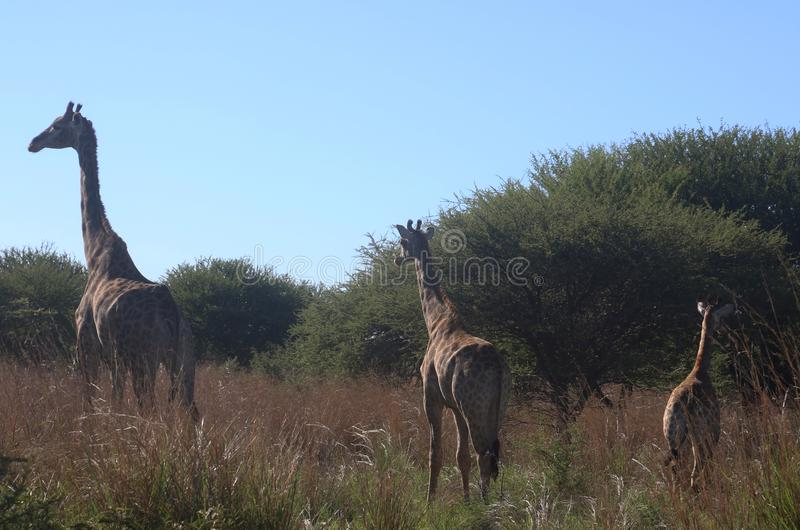 Photo of Giraffes on the Field stock images