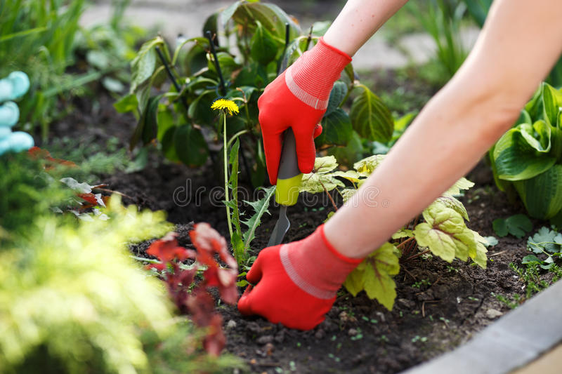 Photo of gloved woman hand holding weed and tool removing it from soil. stock image