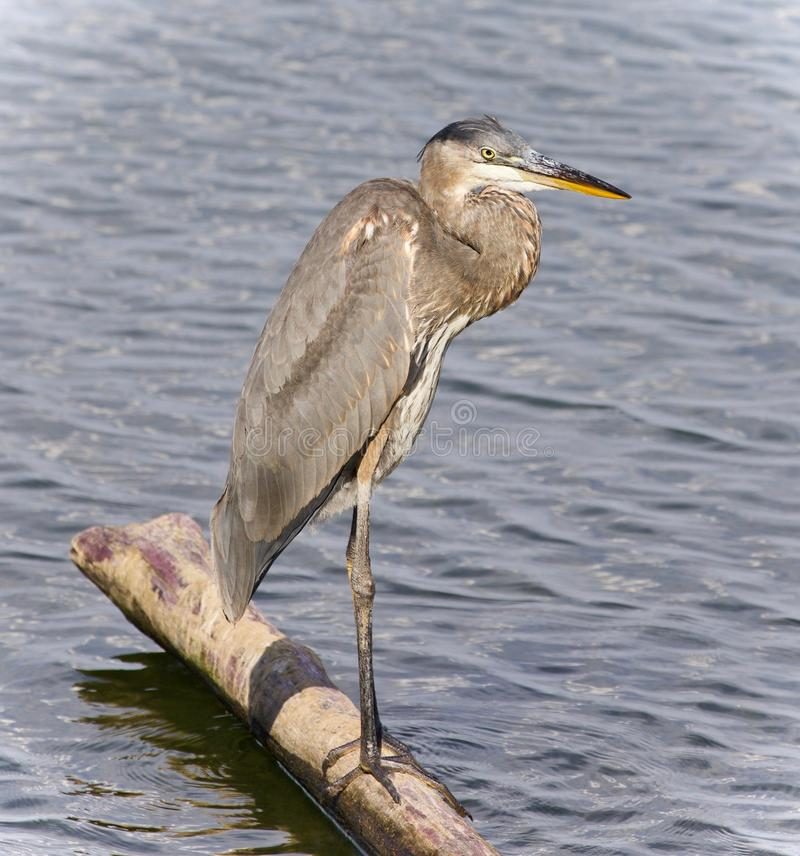 Photo of a great blue heron standing on a log stock images