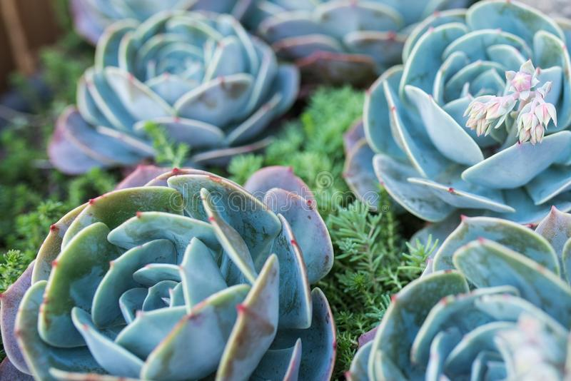 Photo of green and blue succulent. Some succulents out of focus royalty free stock photography