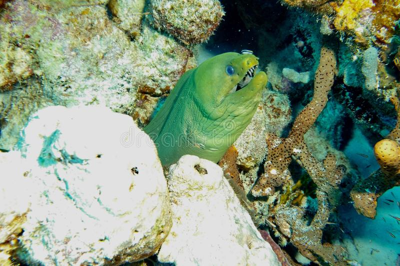 Green Moray Eel. This photo of Green Moray Eel was taken while Scuba Diving Salt City Dive Site in Bonaire royalty free stock photography