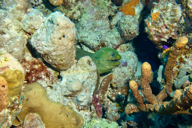Green Moray Eel. This photo of Green Moray Eel was taken while Scuba Diving Salt City Dive Site in Bonaire stock image