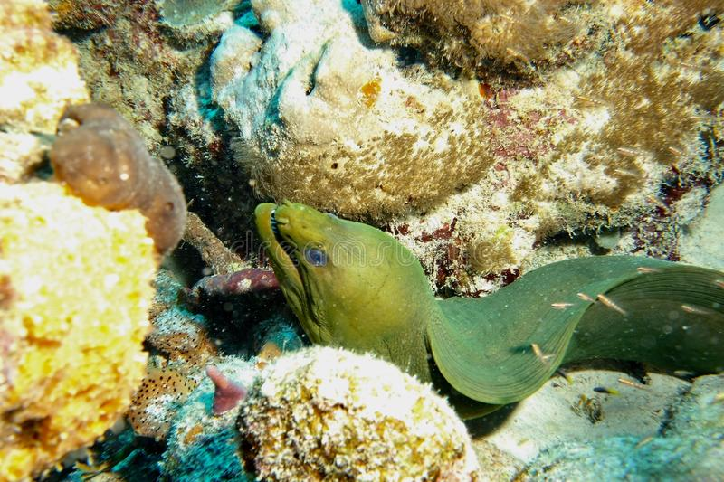 Green Moray Eel. This photo of Green Moray Eel was taken while Scuba Diving Salt City Dive Site in Bonaire stock photography