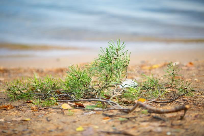 Photo of green pine needles on bright soil. On summer day royalty free stock photo