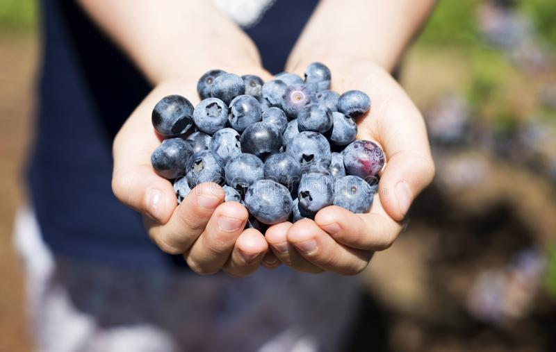 Palmful of blueberries stock photography