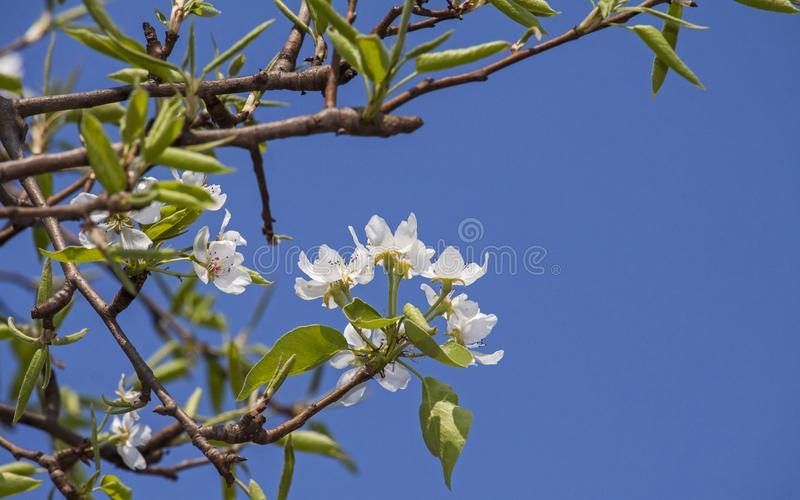 Photo haute étroite d'une fleur de floraison de poirier images libres de droits