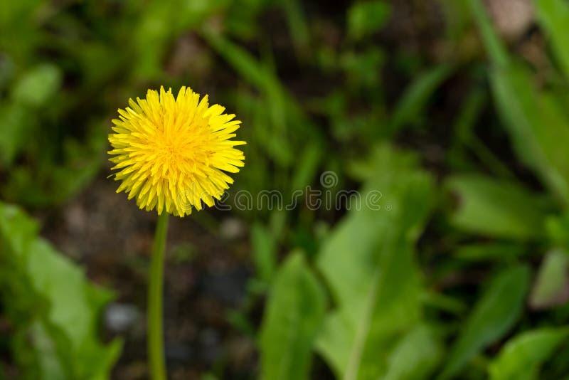 Photo haute étroite de fleur jaune au foyer mou photo stock
