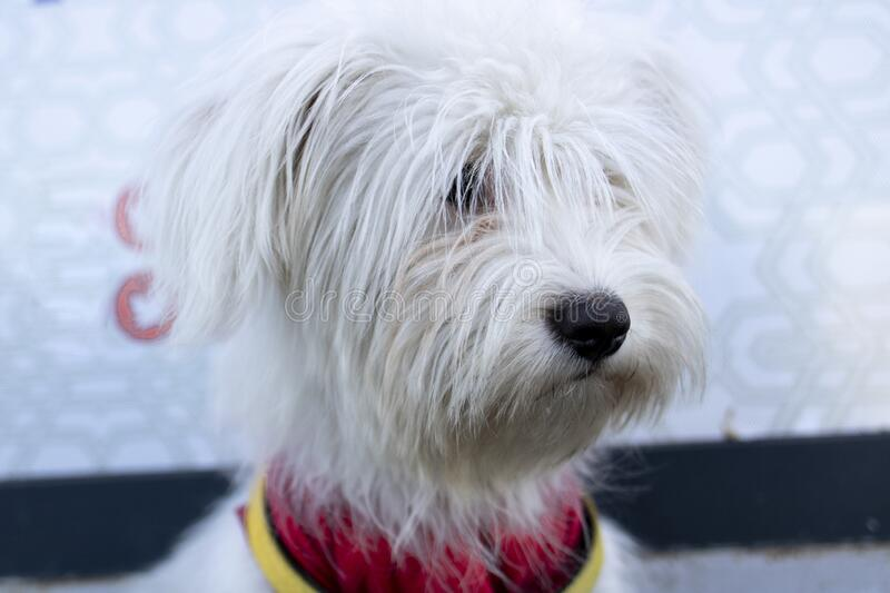 Photo of the head of the Coton de tulear dog. She has a red scarf around her neck. Close up. Photo of the head of the Coton de tulear dog. She has a red scarf royalty free stock photo