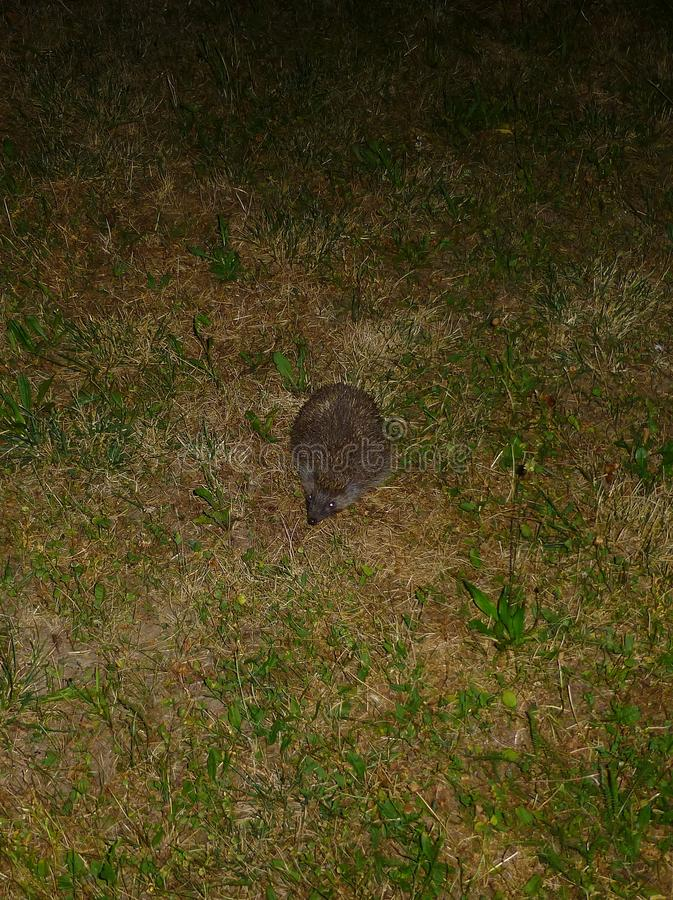 Hedgehog standing on the grass at night. Photo of a hedgehog standing on the grass at night stock images