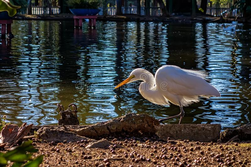 Photo of a heron on the lake in municipal park in the city of Pocos de Caldas, Minas Gerais - Brazil stock photos