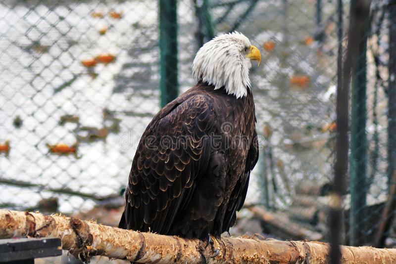 Photo horizontale d'un aigle chauve se reposant sur un tronc d'arbre image libre de droits