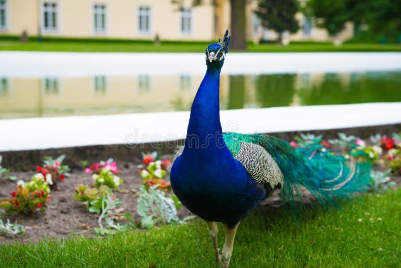 Photo horizontale du paon avec la queue colorée marchant par l'eau du parc de ville et la fontaine, Pologne photos libres de droits