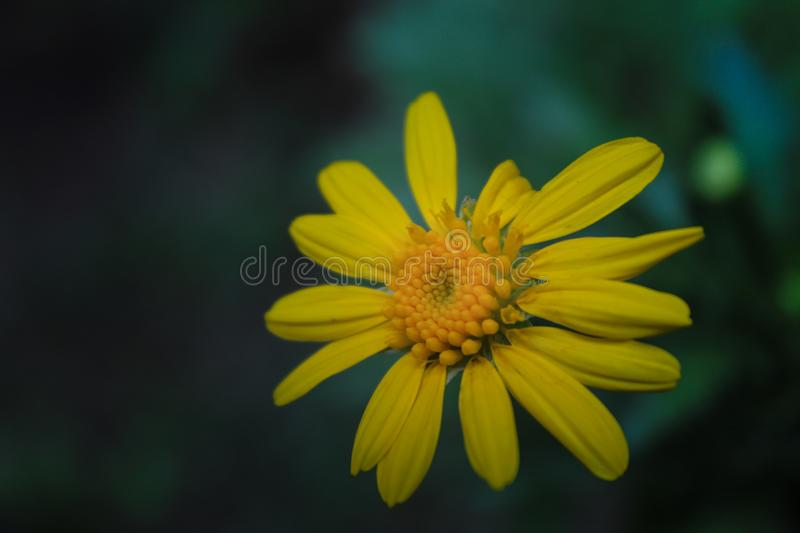 Front of a yellow flower in the garden of my house royalty free stock photography