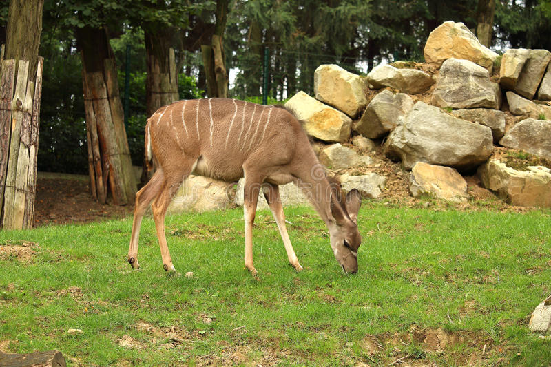 Photo of kadu female eating grass. Photo of female greater kudu antelope eating grass with rock pile and forrest in background royalty free stock image