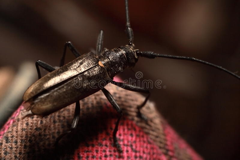 Photo of a large black beetle with a big moustache, red-brown striped fabric. royalty free stock photography
