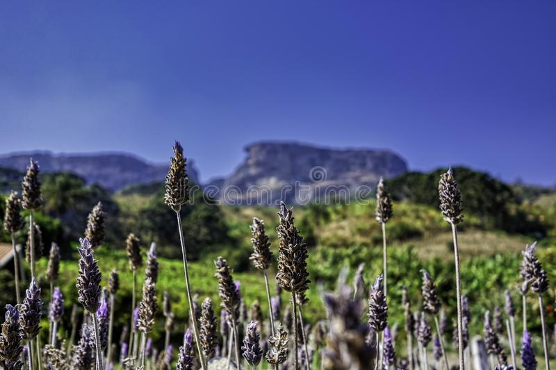 Lavender plant with the Bau Stone blurred in the background on sunny day with blue sky in Sao Bento do Sapucai, Sao Paulo - Brazil stock photo