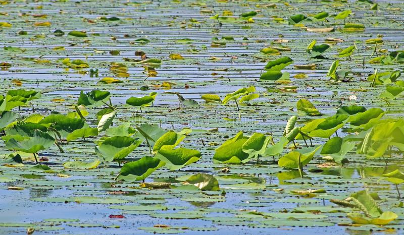 Lily pad leaves in blue water. Photo of lily pad leaves on a lake with blue water stock photography