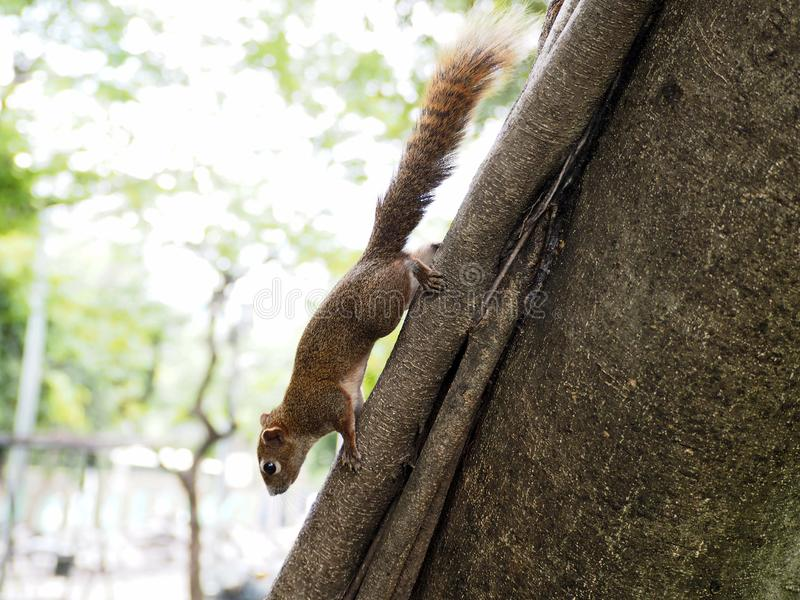 A Little Brown Squirrel Climbing on the Tree royalty free stock image