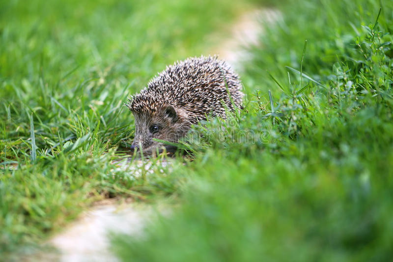 Photo of a little funny hedgehog royalty free stock images