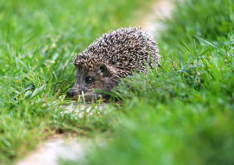 Photo of a little funny hedgehog stock image