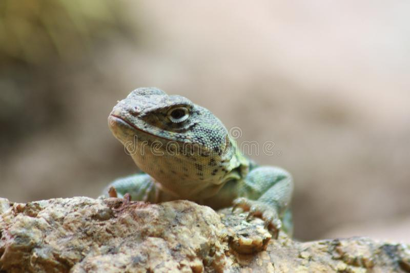 Lizard in the Phoenix Zoo royalty free stock photography