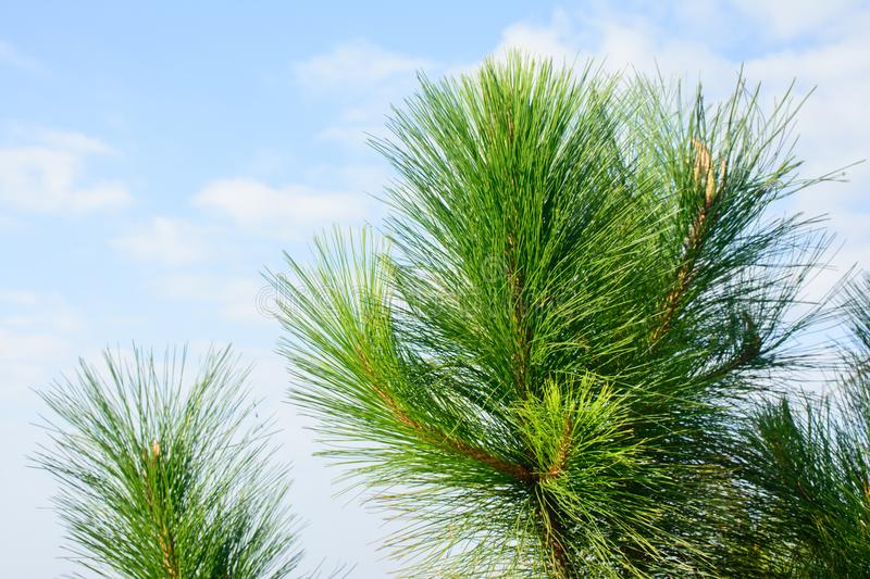Photo of loblolly pine branches royalty free stock images