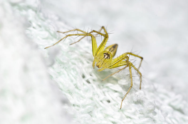 Download A Photo Of Lynx Spider That I Found In On A Swab. Stock Image - Image: 27235161