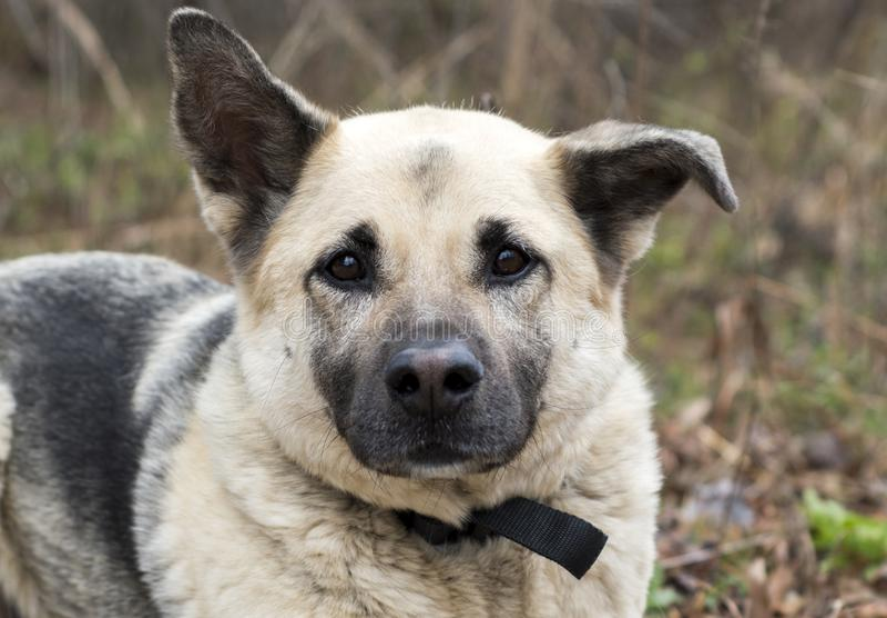 Photo mélangée d'adoption de chien de race de berger allemand image stock
