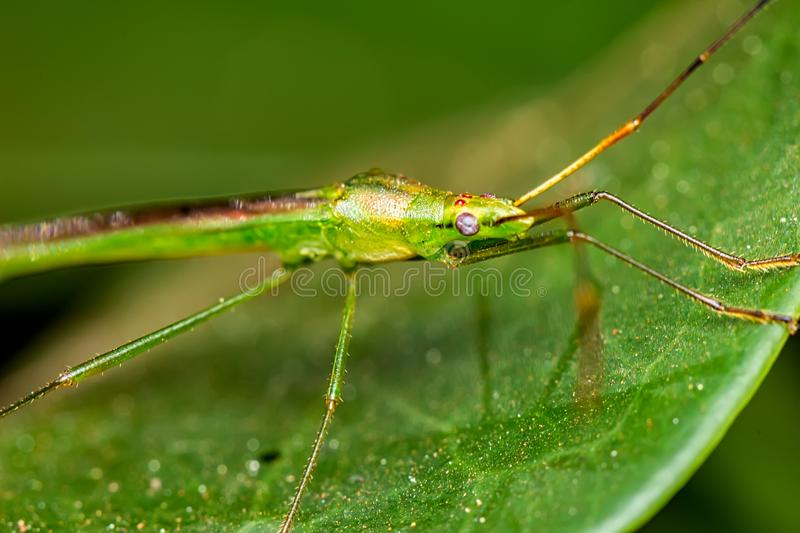 Macro photography of green and elongated insect on a leaf. Photo of macro photography of green and elongated insect on a leaf stock images