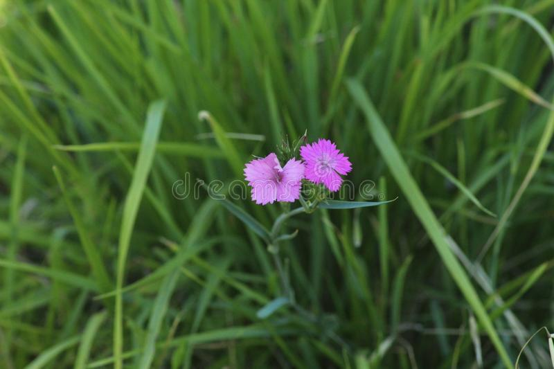 The beautiful pink flower in the field. stock photography