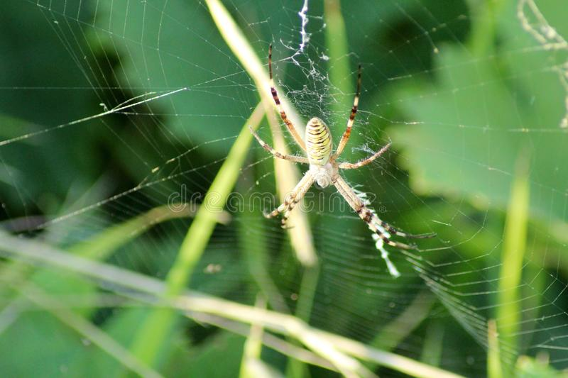The spider in the olive tree. This photo is made in a field near Greve in Chianti, Tuscany, Italy stock photography