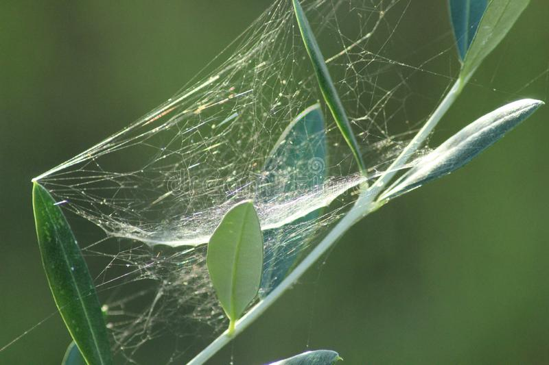 The spiderweb in the olive tree. stock image