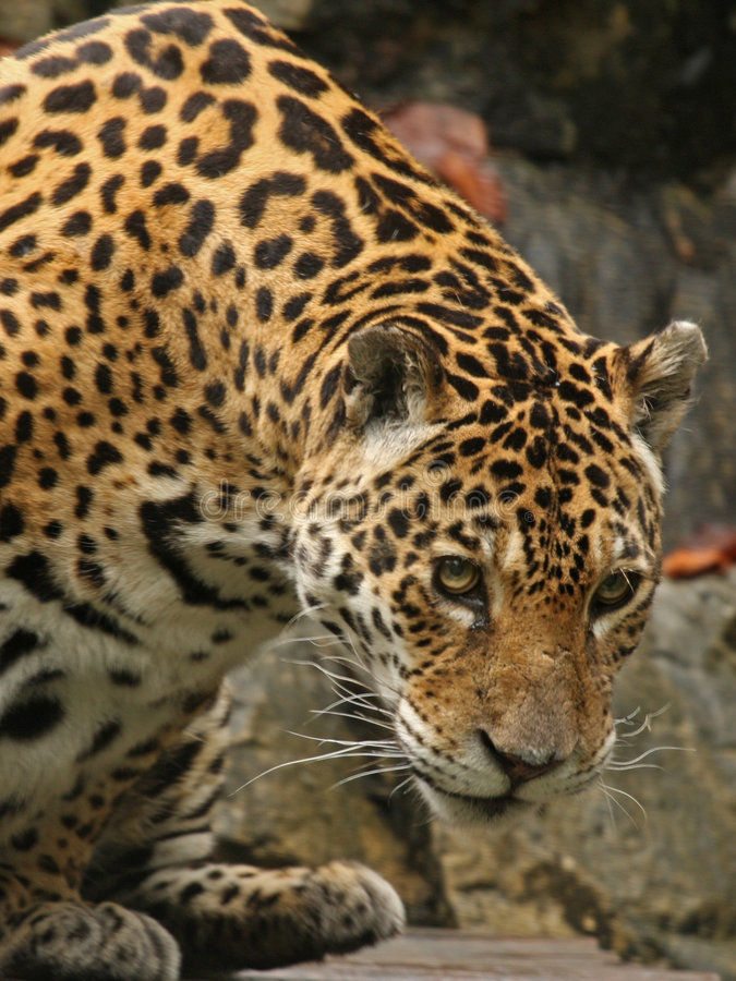 A photo of a male jaguar stock image