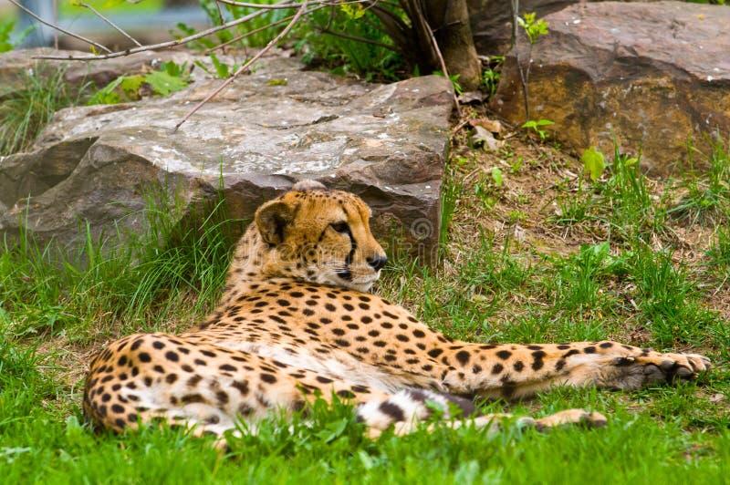 Photo of a male jaguar (Panthera onca) stock image