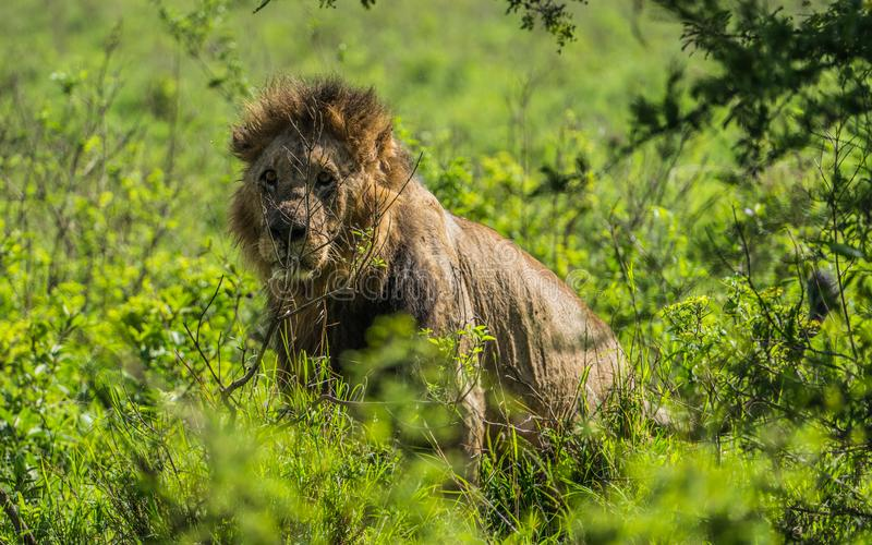 Male Lion relaxing in Nairobi National Park royalty free stock photography