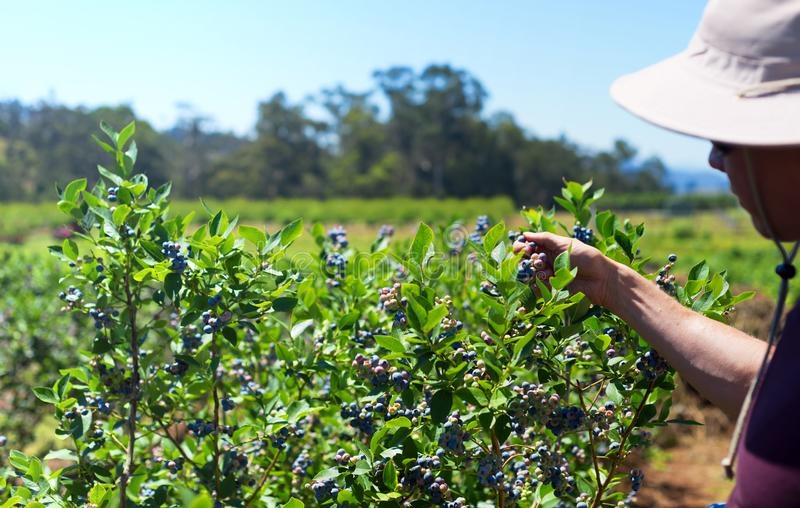 Picking blueberries on the farm stock images
