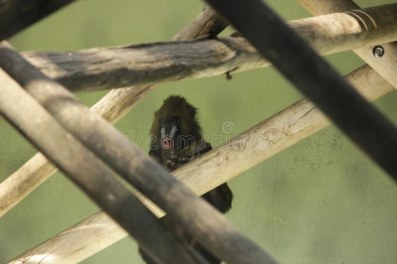 Photo of Mandrill monkey in branches. Photography from German zoo in warm colors royalty free stock photos