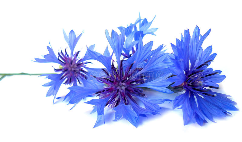 Photo manipulation oil paint blue cornflower isolated royalty free stock image