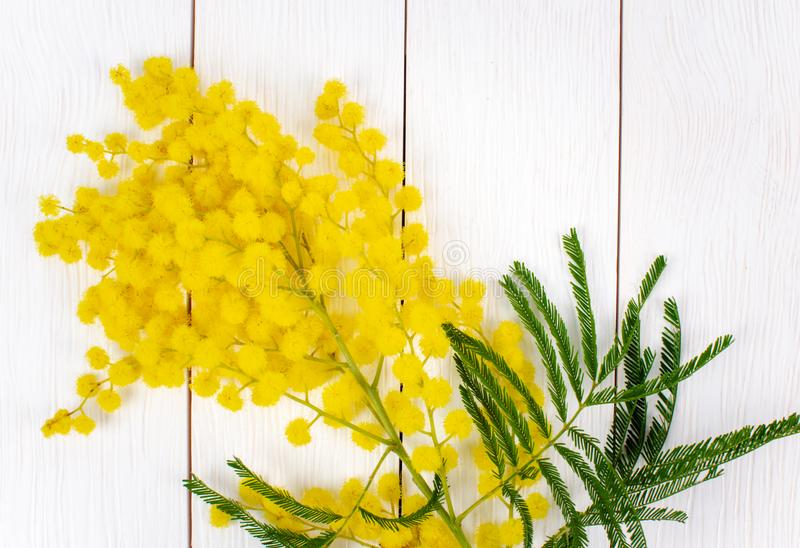 Mimosa Flowers on White Planks. Photo of Mimosa Flowers Isolated on a White Wooden Background. Women Day Concept royalty free stock photo