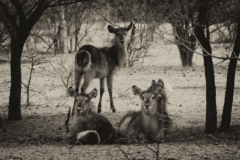 Photo modifiée la tonalité par sépia de troupeau d'écoute vigilante de Waterbuck photos libres de droits