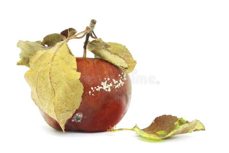 A photo of mold growing on the old apple isolated on white background. Food contamination, bad spoiled disgusting rotten organic a royalty free stock photo