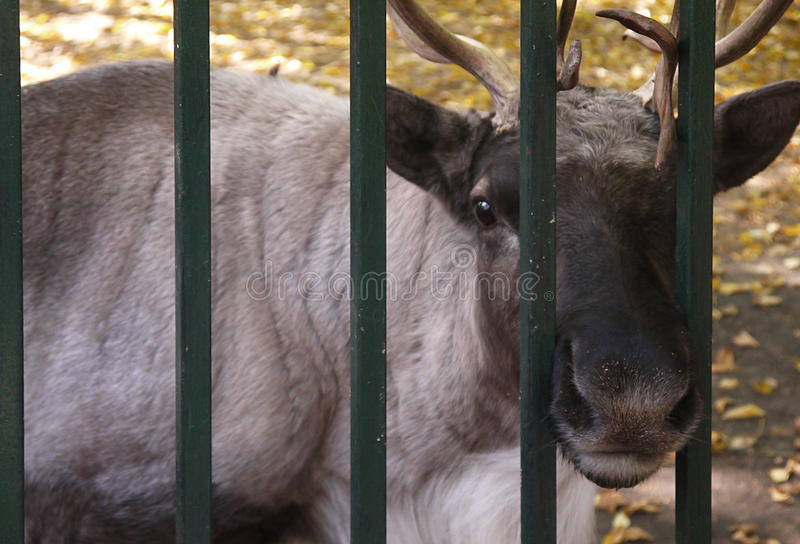 Photo of moose at the zoo. Photo of the elk in the paddock zoo stock photo