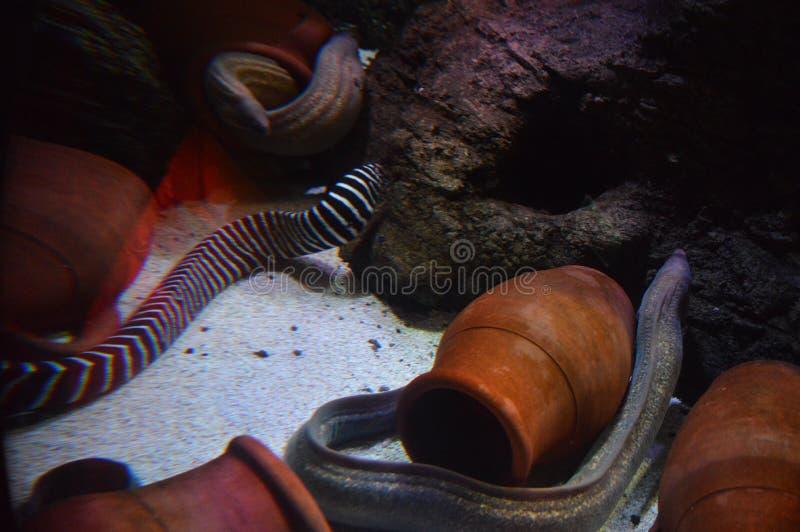 Moray eels in aquarium, Muraenidae family. Photo of Moray eels in aquarium, Muraenidae family stock images